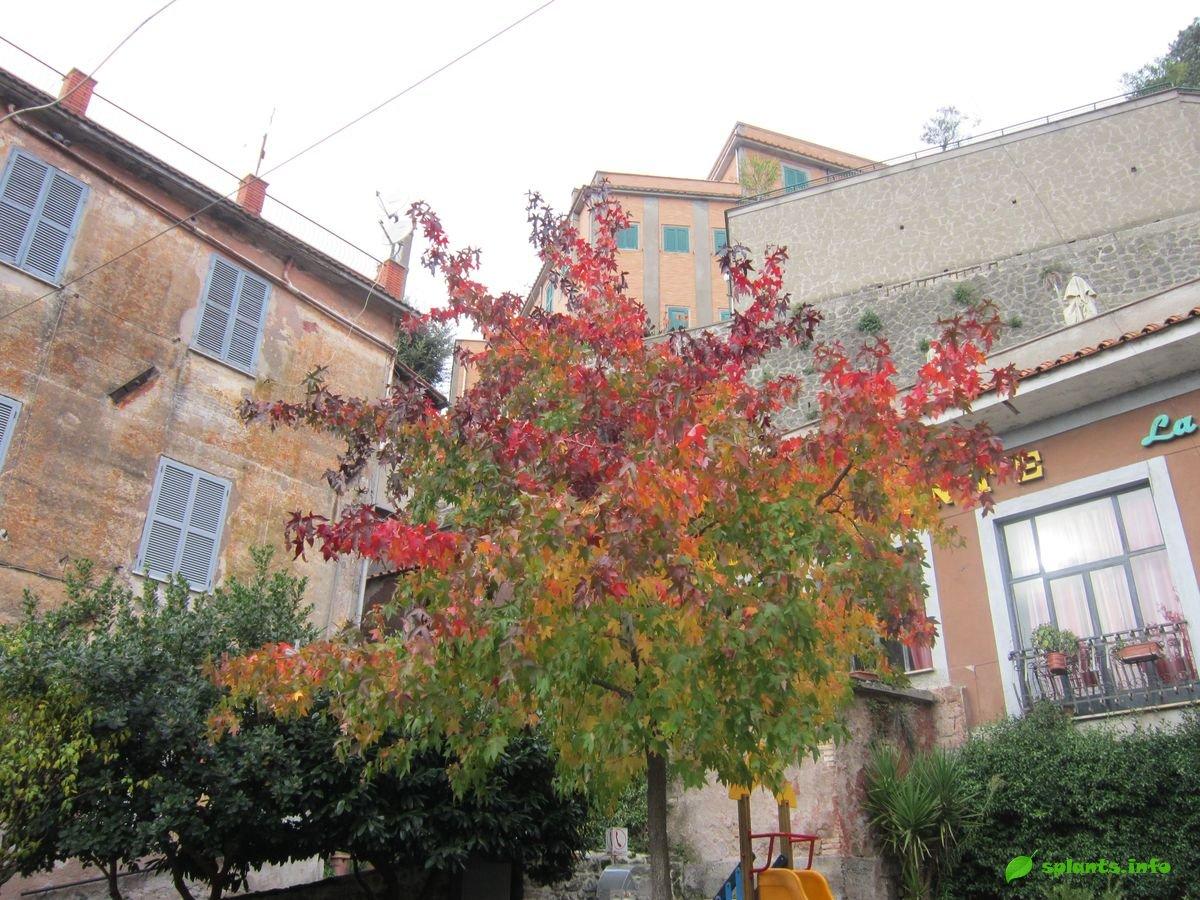Какое растение выращивали древние греки и римляне?
