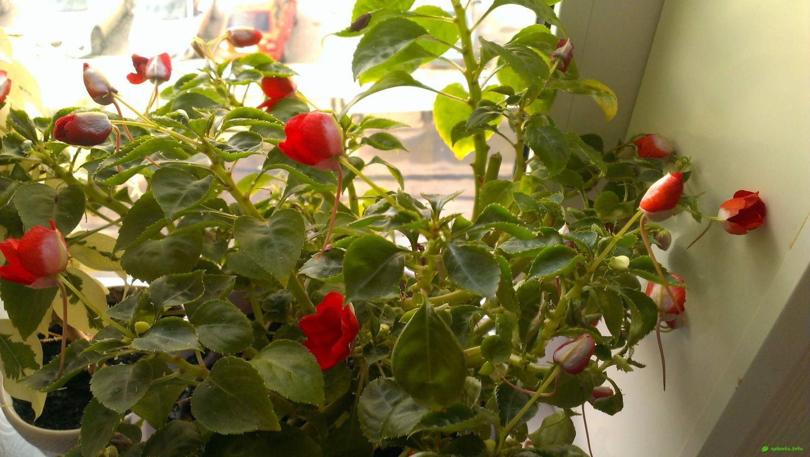 домашнее растение ванька мокрый уход