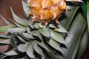Укоренение ананаса обрезка