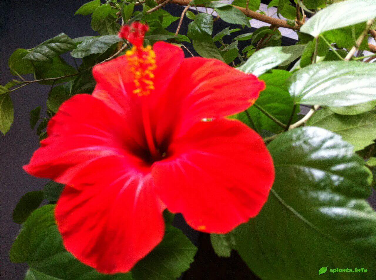 Гибискус - комнатное растение