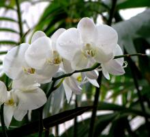 Фото белой орхидеи