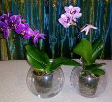 Мини-орхидеи