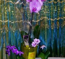 Мини-орхидеи на фоне фаленопсиса