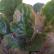 Листья фиалки покрылись пятнами. Что делать?