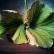 Почему у пеларгонии желтеют листья