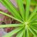 Кошачья пальма в домашних условиях