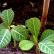 Молочай беложилковый - комнатное растение