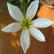 Зефирантес - комнатное растение
