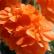 Кроссандра - комнатное растение
