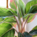 Аглаонема - комнатное растение