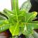 Кротон - комнатное растение