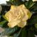 Гардения - комнатный цветок