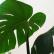 Монстера - комнатное растение