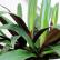 Рео - комнатное растение