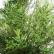 Купрессус - домашнее растение