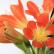 Кливия - комнатное растение