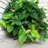 Филодендрон - домашняя лиана