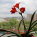 Валлота - комнатный цветок
