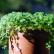 Солейролия уход за комнатным растением
