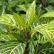 Санхеция - комантное растение