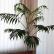 Домашняя пальма хамедорея