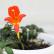 Колумнея - комнатный цветок
