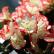 Азалия - комнатный цветок