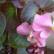 Бегония - комнатное растение